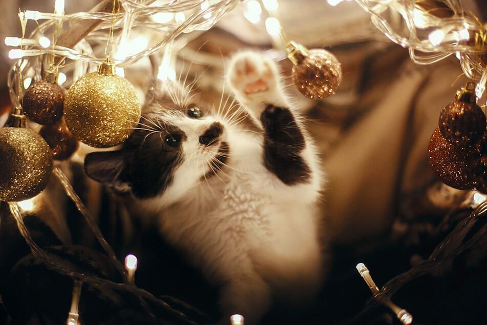 Katzen fühlen sich von den Lichtern oder glitzerndem Lametta magisch angezogen.
