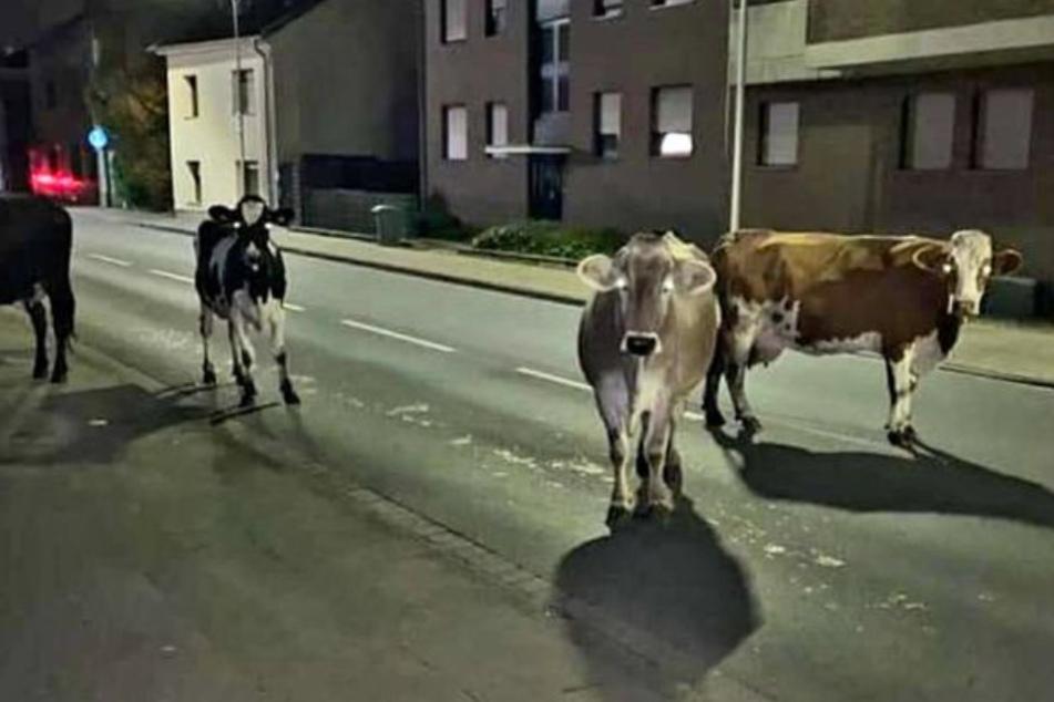 15 Kühe büxen aus und chillen nachts vor einem Supermarkt