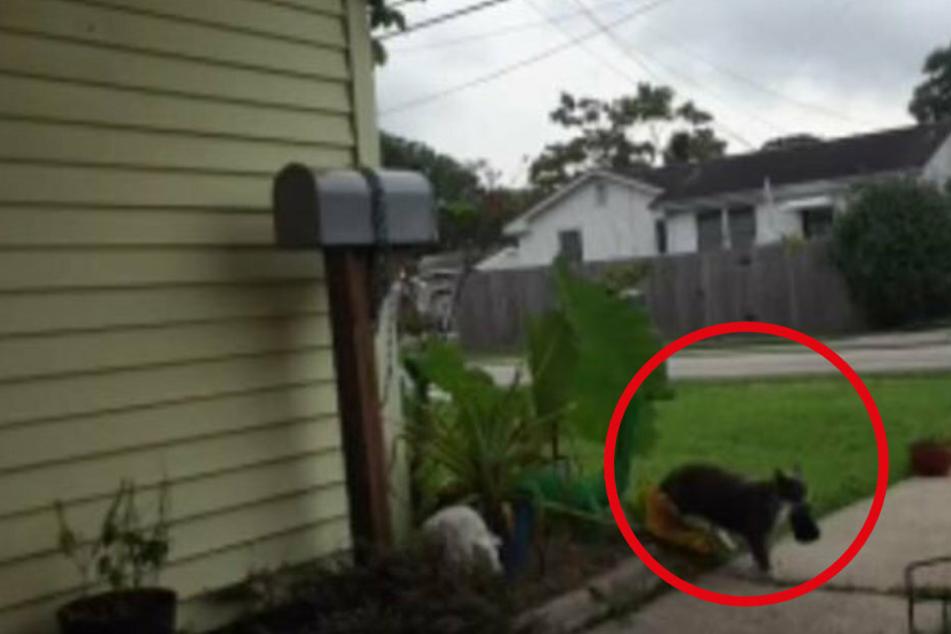 Frau überprüft ihre Sicherheitskameras und ist überrascht, was ihre Katze nach Hause bringt