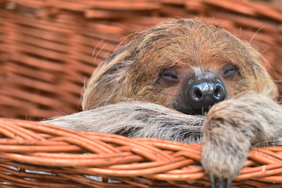"""Nach über 50 Jahren direkt im Doppelpack: Der Kölner Zoo hat wieder """"faule"""" Kletterkünstler"""
