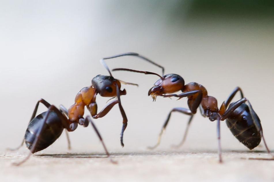 Wurden vom Feuermelder für Rauch gehalten: Ameisen. (Symbolbild)