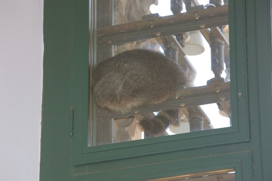 Im Fenster war der schlafende Waschbär zu sehen.