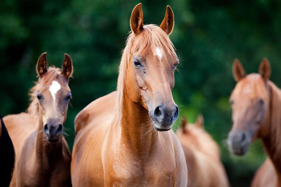 Fünf freilaufende Pferde flitzten durch die Straßen. (Symbolbild)