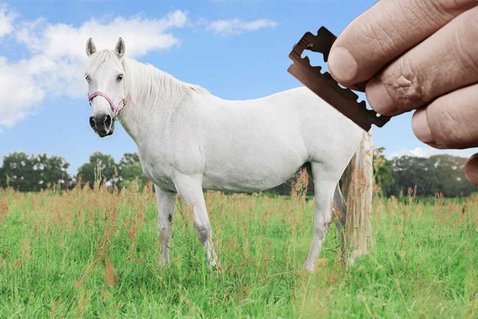 Pferde-Ripper? Unbekannter verletzt Stute mit Rasierklingen