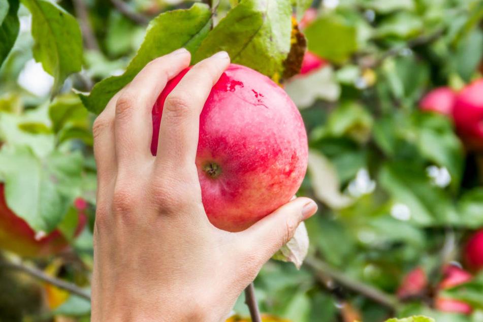 Die Apfelernte im Rheinland könnte gut ausfallen.