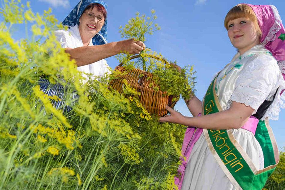 """Gisela Christl (l. """"Spreewald Christl"""") und Angelique Fengler (""""alte"""" Spreewälder Gurkenkönigin) standen zum offiziellen Erntestart der Spreewälder Gurken in sorbisch-wendischen Trachten zwischen Reihen mit blühenden Dill auf einem Feld."""
