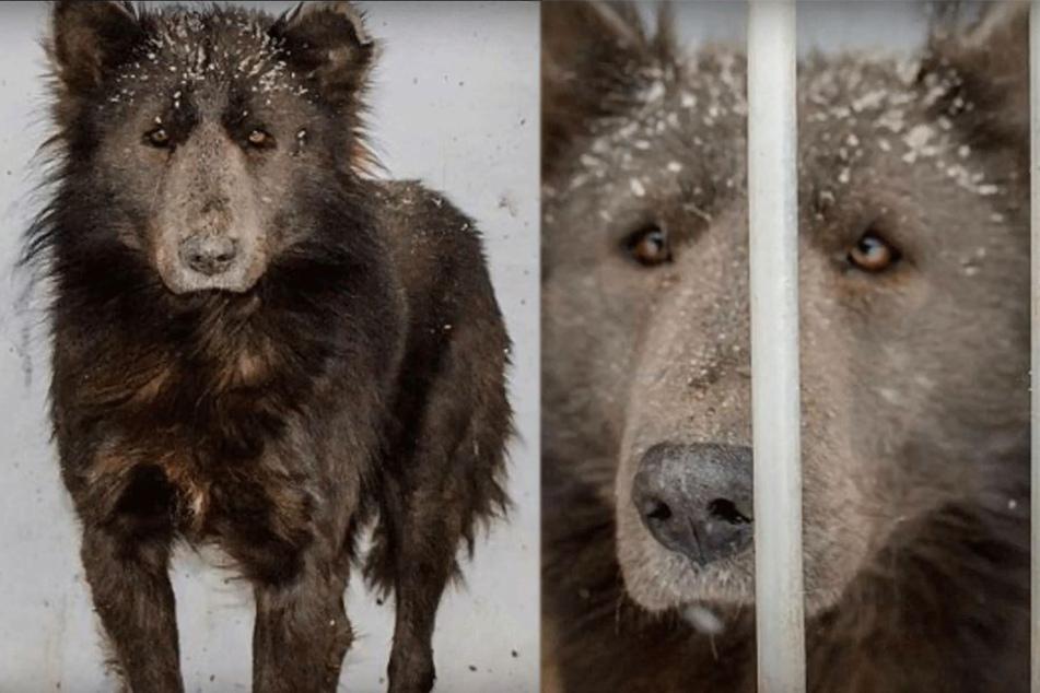 Rätsel um mysteriöses Mischwesen aus Hund und Bär gelöst