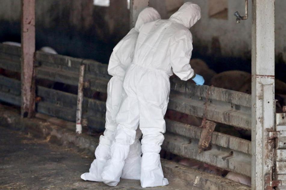 Tiermediziner stehen während einer Übung im Kampf gegen die Afrikanische Schweinepest in einem Schweinestall.
