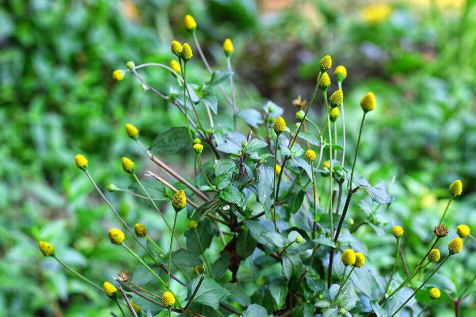 Die Blüten der brasilianischen Heilpflanze Parakresse sind leuchtend gelb, ihr Geschmack wechselt zwischen süß, sauer und salzig.