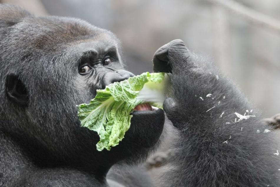Der Lebensraum der Gorillas ist gefährdet und damit auch die Tiere.