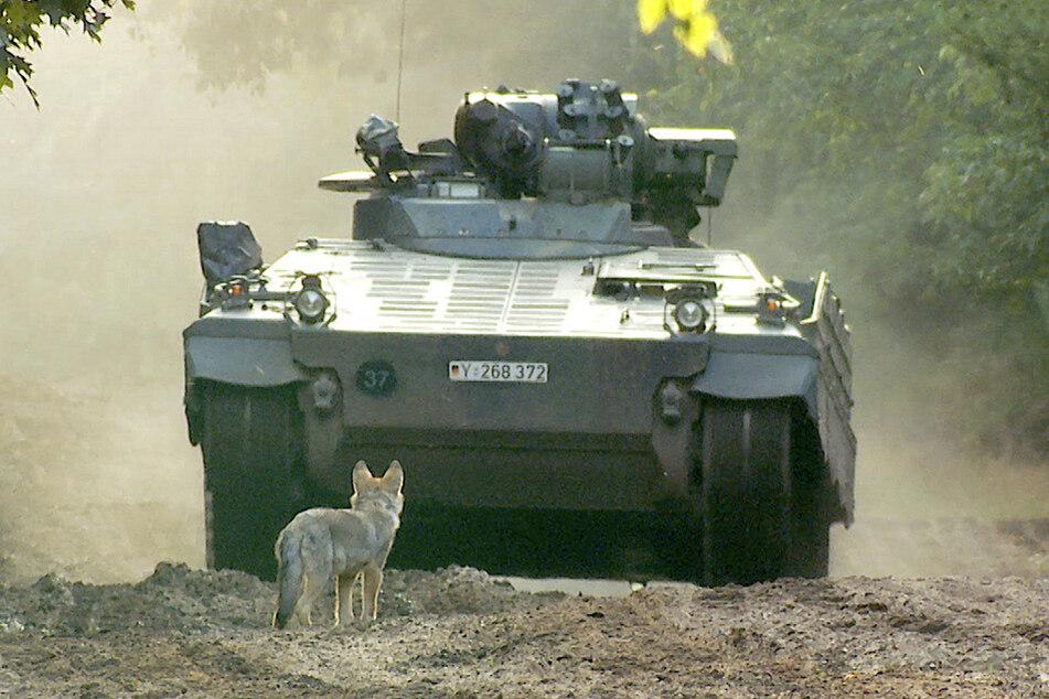Besonders in der Lausitz breiten sich Wolfsrudel aus.