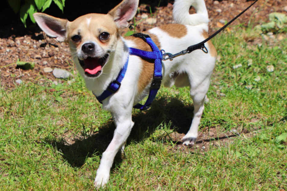 Chihuahua Mischling Chico.