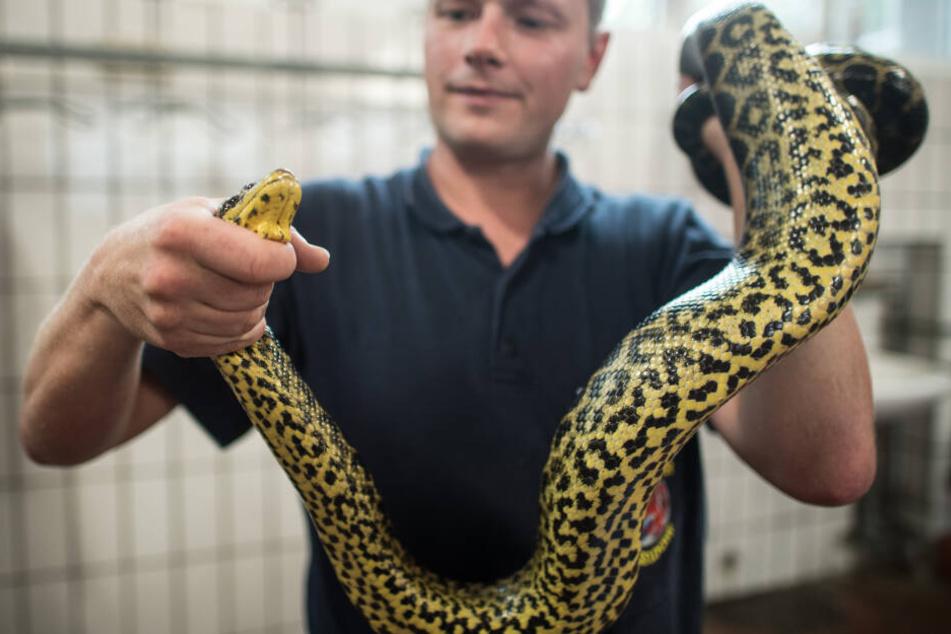 Eine gefangene Schlange.