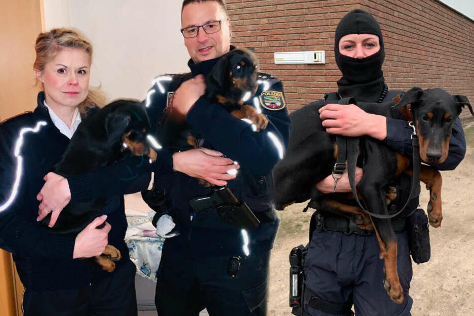 Grausame Tierquälerei: Polizei befreit verstümmelte Dobermänner