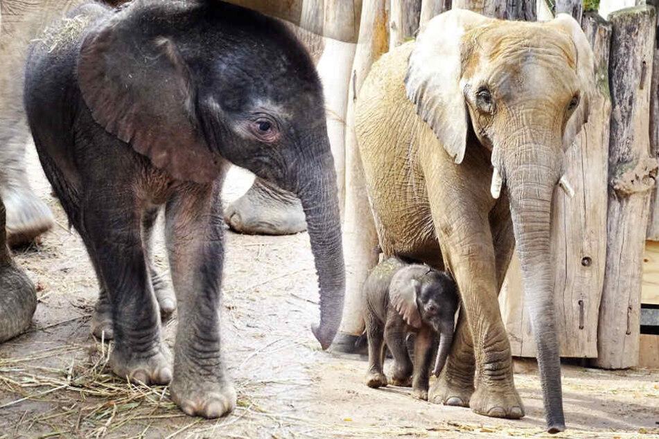 """Das neugeborene Elefantenmädchen traute sich zum ersten Mal in die Außenanlage - immer gut beschützt von Mama """"Tana""""."""