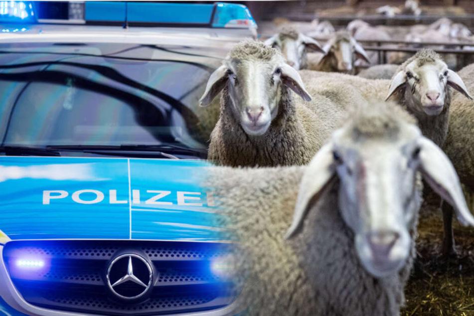 Furchtbar: Tierhasser töten und zerteilen Schafe auf Weide!