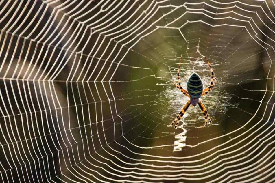 Zunächst war nicht klar, ob es sich um gefährliche brasilianische Wanderspinnen handelt. Doch ein Experte gab Entwarnung. (Symbolbild)