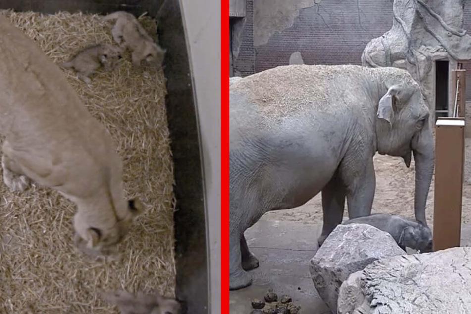Sowohl bei den Raubkatzen als auch bei den Elefanten geht es harmonisch zu.