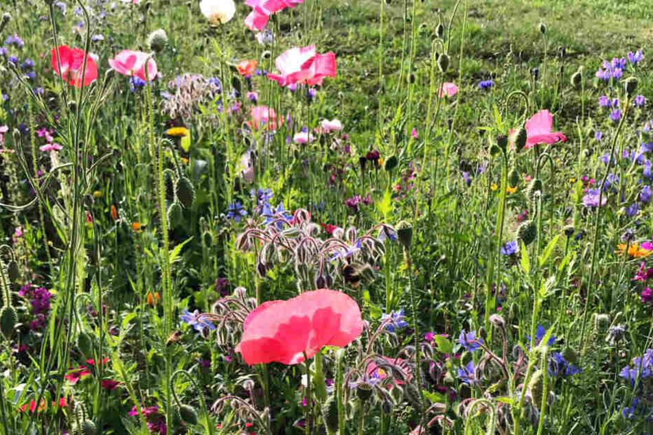 Sind solche bunten Blumen-Landschaften, wie hier im Clara-Zetkin-Park bald Geschichte wegen der anhaltenden Hitze?