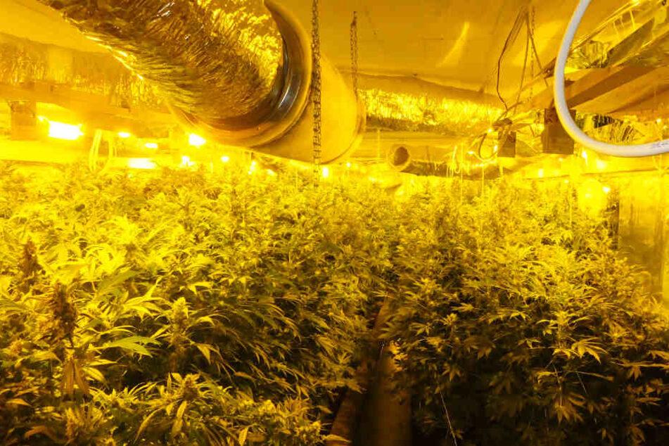Rund 2000 Cannabis-Pflanzen fand die Polizei auf der Plantage.
