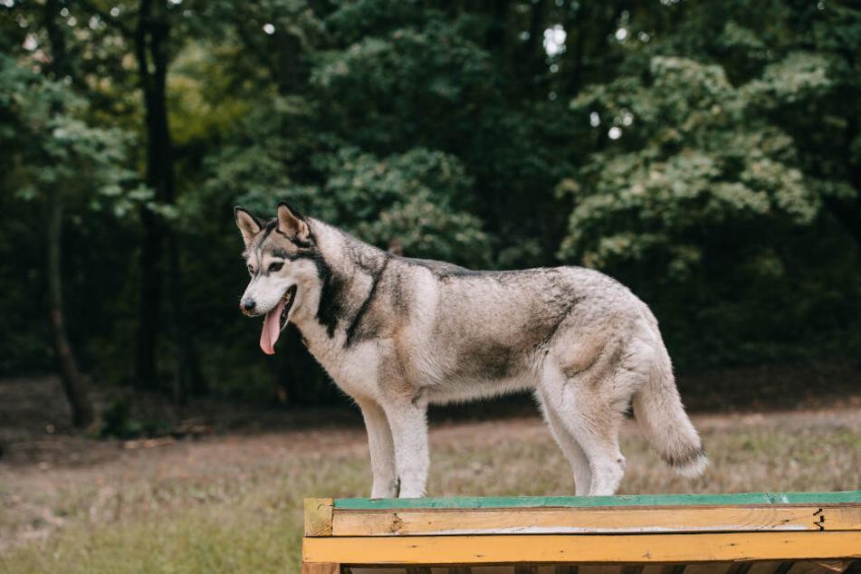 Können Hunde tatsächlich Krebs erschnüffeln? (Symbolbild)