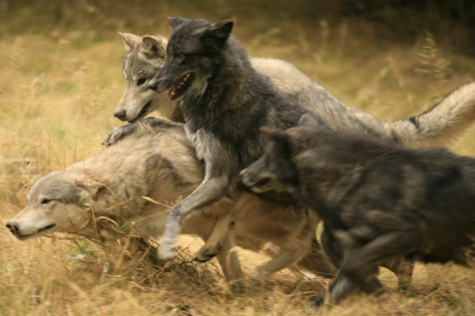 Die Zahl der Wolf-Angriffe auf Schafe mehrt sich in NRW.