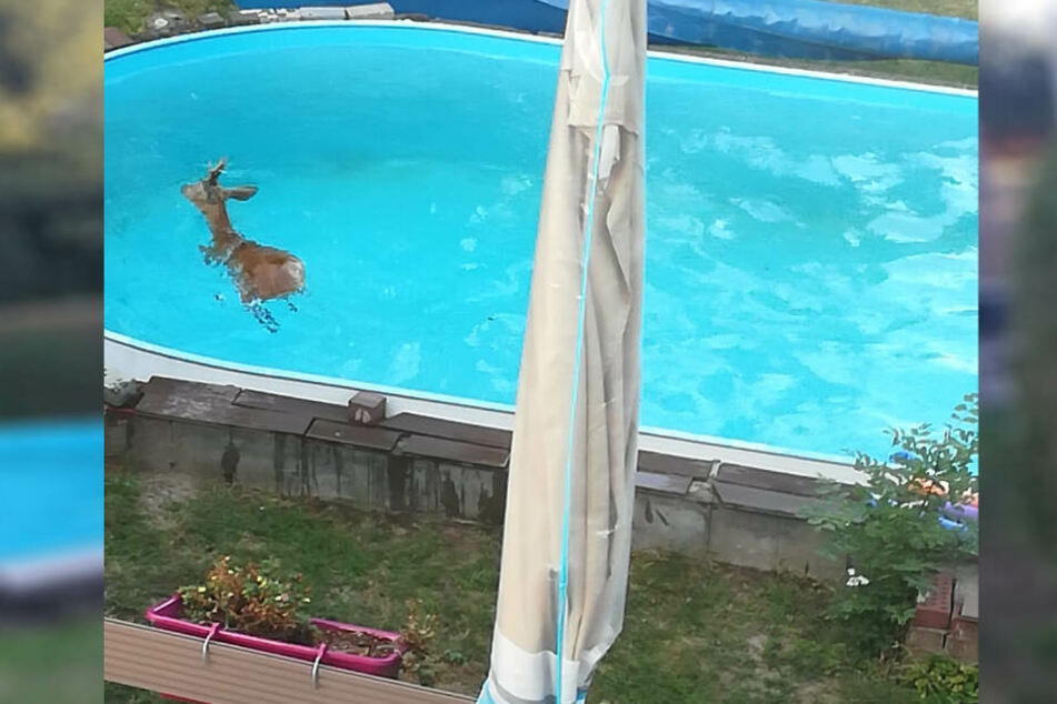 Der Rehbock war in den Pool gestürzt und konnte es eigener Kraft nicht entkommen.