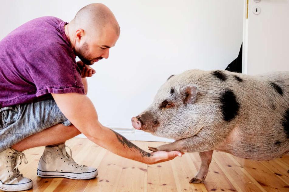 Gelebte Tierfreundschaft: Hausschwein Shade gibt Benjamin Hartmann in seiner Wohnung in Berlin die Pfote (Symbolbild).