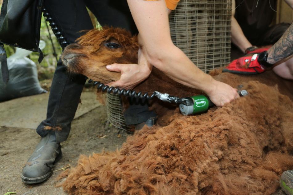 Weg mit der Wolle: Die Tiere werden regelmäßig geschoren.