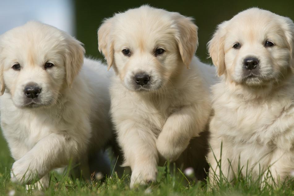 Hunde-Boom wegen Corona, doch Experten sehen ein großes Problem