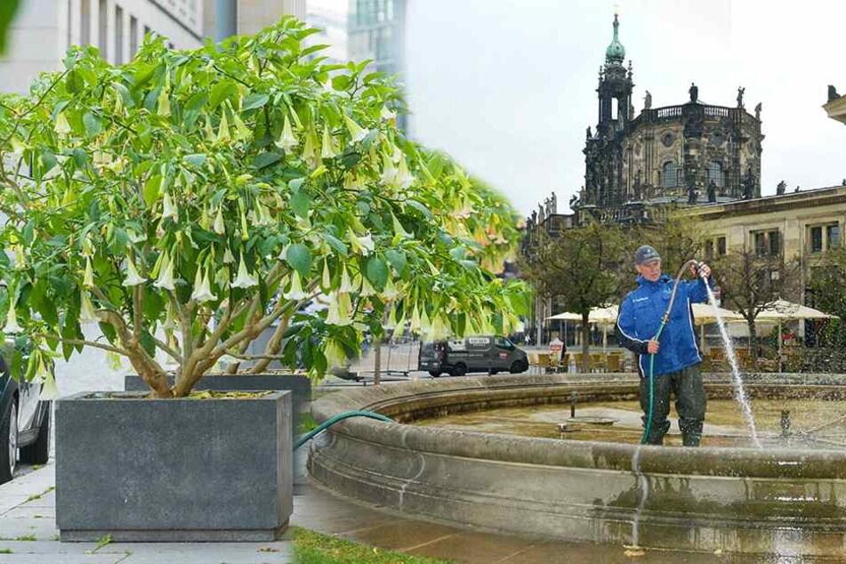 """""""Operation Frostschutz"""" rettet Dresdens Blumen und Brunnen"""