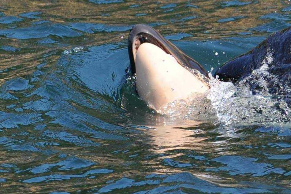Herzzerreißend! Orca-Mutter trägt totes Baby tagelang durchs Meer