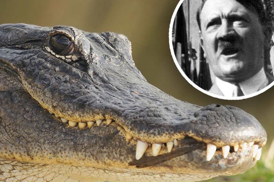 Der Alligator ist putzmunter und kann im Moskauer Zoo besichtigt werden. (Bildmontage)