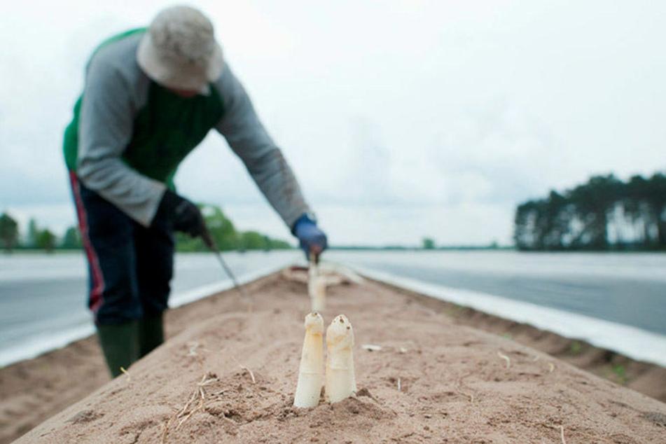 Ende der Woche startet in Sachsen die Spargelernte. Der Verband der Spargelanbauer erwartet eine gute Ausbeute.
