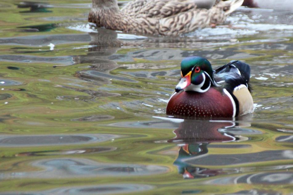 Ein Jäger ist während der Jagd nach Enten in das eiskalte Wasser gefallen. (Symbolbild)