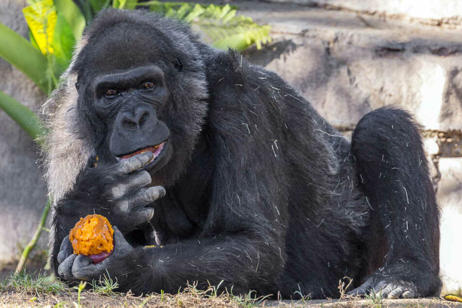 Im Alter von 60 Jahren starb Gorilla-Dame Vila jetzt im Safari Park in San Diego.