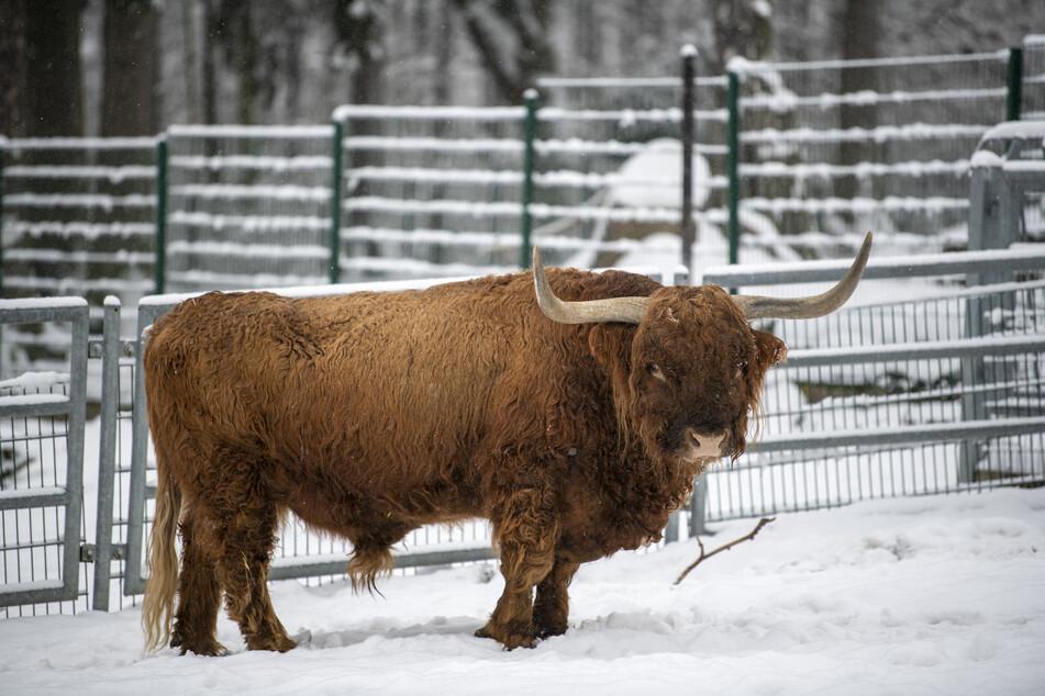 Im Limbach-Oberfrohnaer Amerika-Tierpark sind auch teure Hochlandrinder nachgefragt.