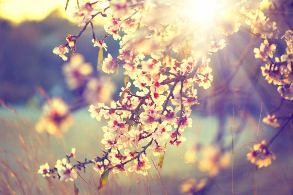 Die Blüten sprießen! Anhand der zu erwartenden Werte der nächsten Tage ist dieses Szenario wahrscheinlicher als ein klirrender Kälteeinbruch.