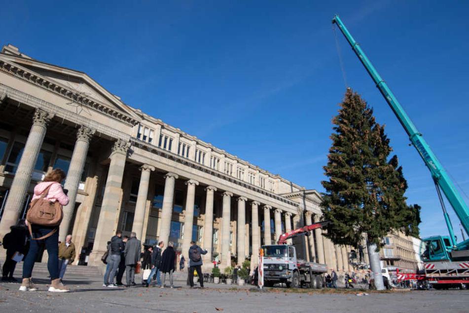 Die Rotfichte ist 25 Meter ist hoch und 55 Jahre alt.