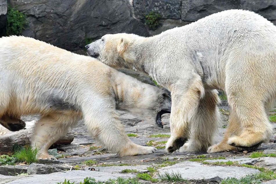 Sonst spielen die Eisbären gern miteinander. Mittlerweile zeigt Tonja kein Interesse an Wolodja.