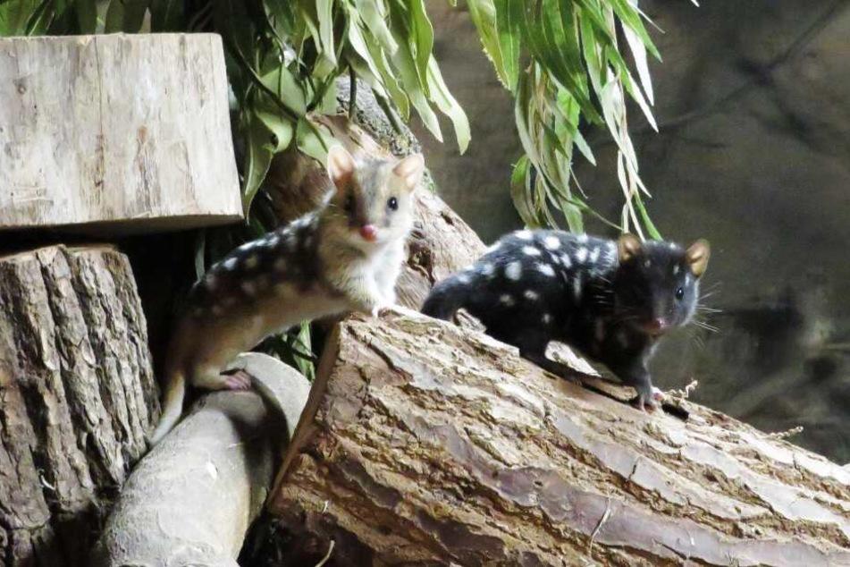 Mäuse oder Marder? Die sogenannten Quolls sind sehr possierlich.