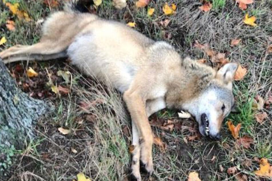 Wölfe: Wolf wird gleich von zwei Autos auf Bundesstraße angefahren
