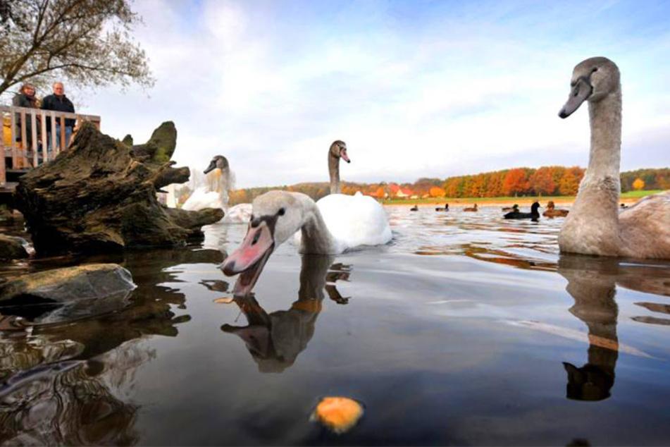 Es gibt kaum noch Schwäne am Obersee. Ein Großteil ist bereits an der Vogelgrippe gestorben.