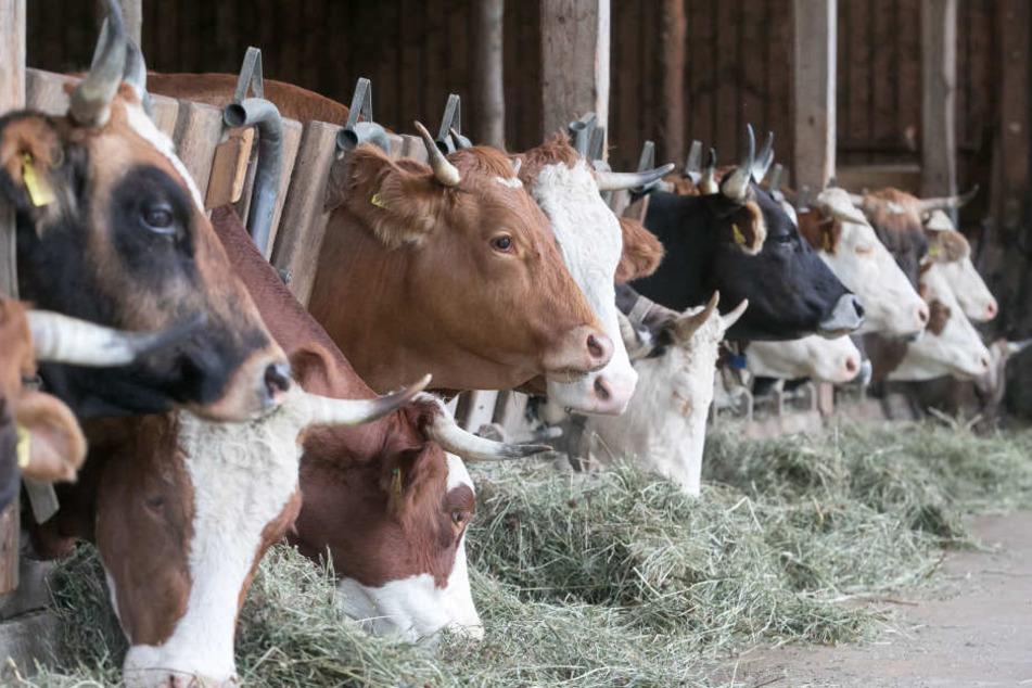 Mahlzeit! Im Stall halten sich die Rinder nur zum Melken und für eine Extraportion Heu auf.
