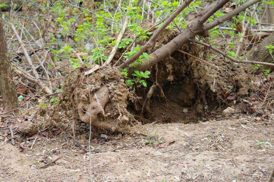 Das Wurzelwerk eines umgestürzten Baumes hat in Oberfranken eine Panzerfaust aus dem Boden gehebelt. (Symbolbild)