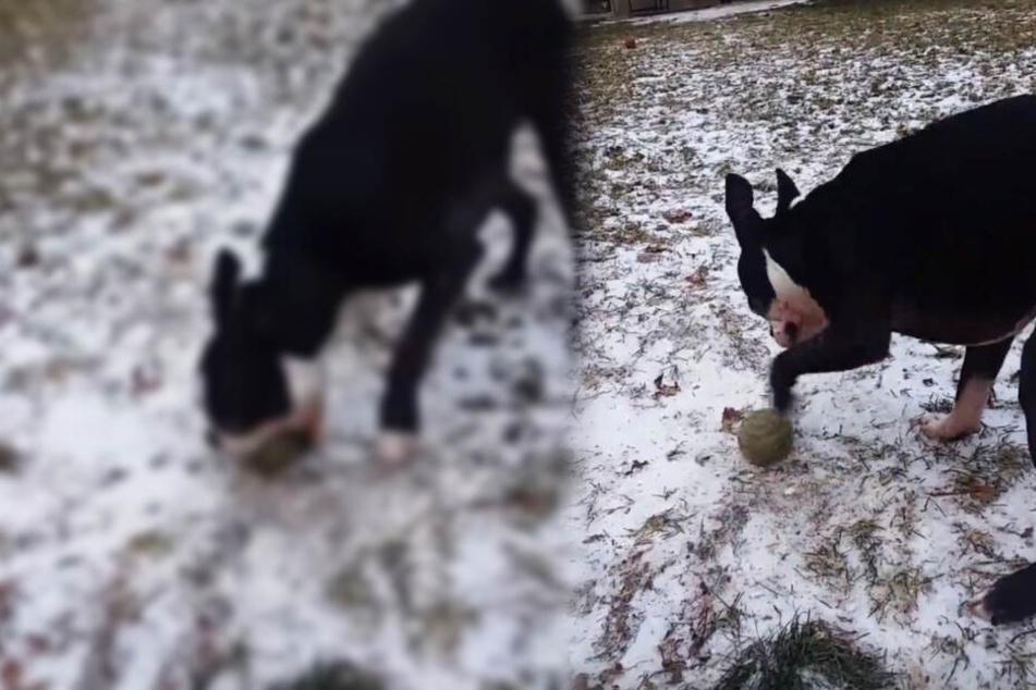 Video geht viral: Hier wird ein Hund vom Frost ausgetrickst