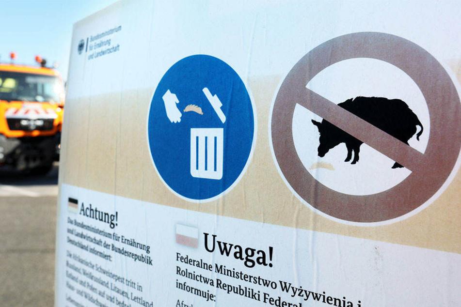 Ein Ausbruch der Afrikanischen Schweinepest bei Hausschweinen könnte Schlimmes für Deutschlands Wirtschaft bedeuten.