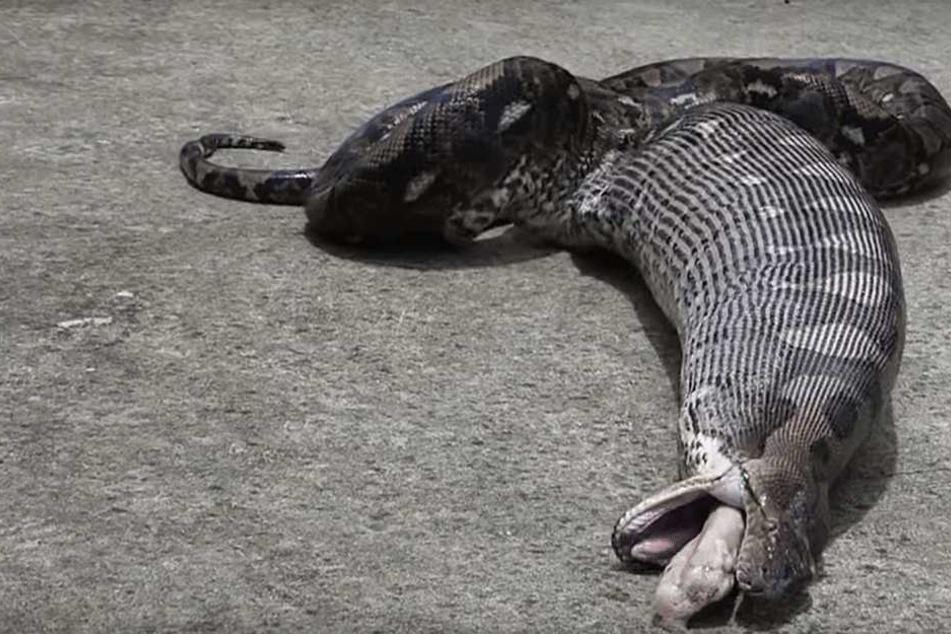 Video: Python verschlingt Hauskatze, dann wird es extrem widerlich