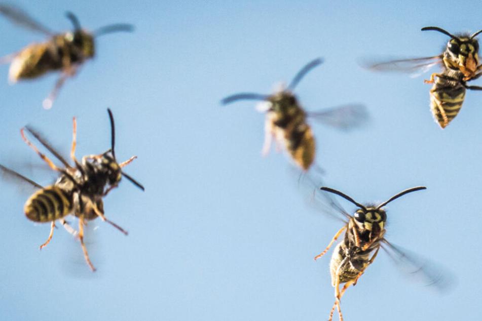 Wespen in Hessen: So ist die Lage in diesem Sommer