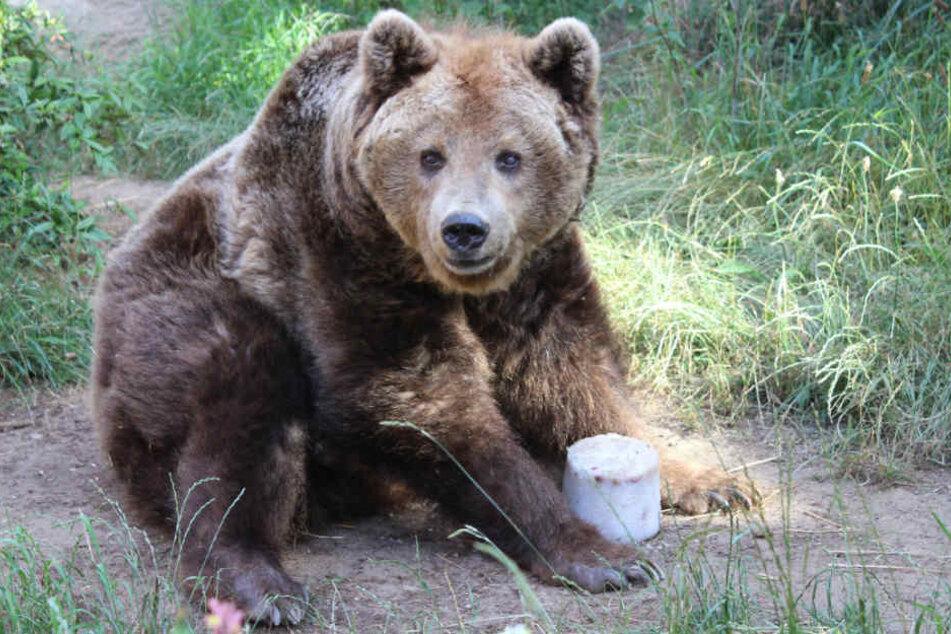 In der freien Wildbahn werden Bären gerade einmal zwischen 20 und 30 Jahre alt. Braunbärdame Susi wurde 38.